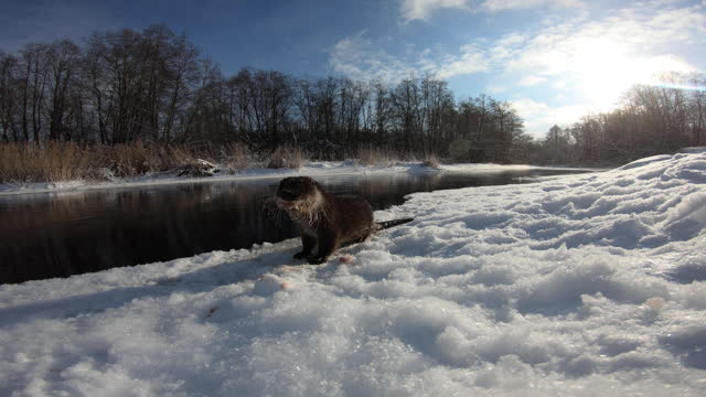 river otter (lutra lutra) underwater in winter - action camera, belarus - underwater camera stock videos & royalty-free footage