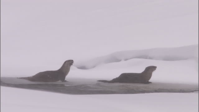 river otters (lontra canadensis) call in snow, yellowstone, usa - singing stock videos & royalty-free footage