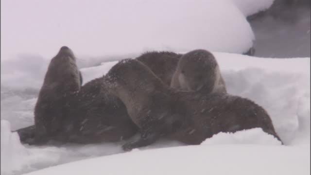 vídeos y material grabado en eventos de stock de river otters (lontra canadensis) groom and roll in snow, yellowstone, usa - nutria de río
