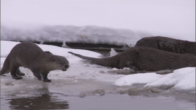 river otters (lontra canadensis) hunt in icy river, yellowstone, usa - otter stock-videos und b-roll-filmmaterial