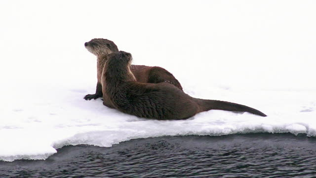 River otters playing and grooming, Yellowstone National Park, Yellowstone River, Wyoming, winter