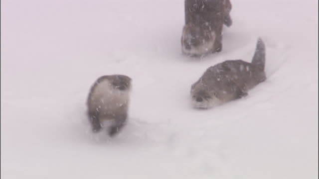 river otters (lontra canadensis) run and toboggan on snowy slope, yellowstone, usa - otter stock videos and b-roll footage