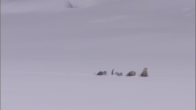 vídeos y material grabado en eventos de stock de river otters (lontra canadensis) run through deep snow, yellowstone, usa - nutria de río