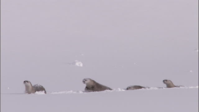 river otters (lontra canadensis) run through deep snow, yellowstone, usa - river yellowstone stock videos and b-roll footage