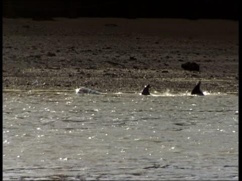 vídeos de stock, filmes e b-roll de river thames whale dies tx gv whale seen in river thames - cetáceo
