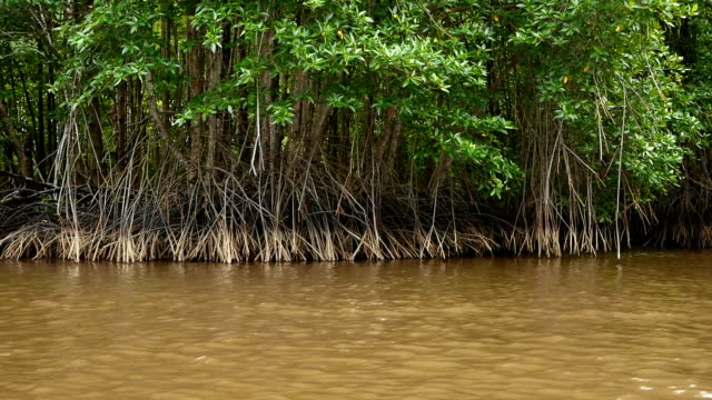 river view mangrove forest trip by wooden raft - mangrove tree stock videos & royalty-free footage