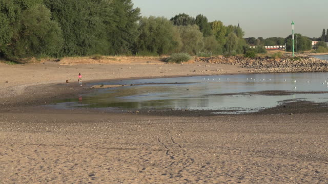 vidéos et rushes de riverbed of a low water river in summer and some seagulls craving for food - fleuve rhin