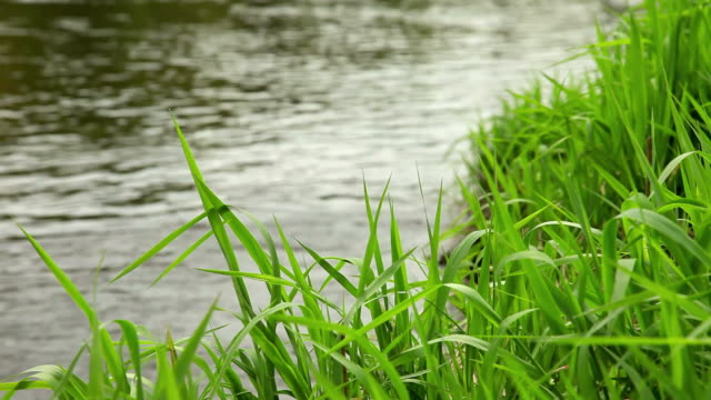 Fiume grass