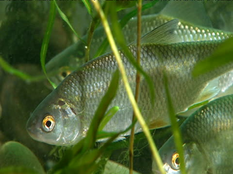 roach fish swim in tank - gill stock videos & royalty-free footage