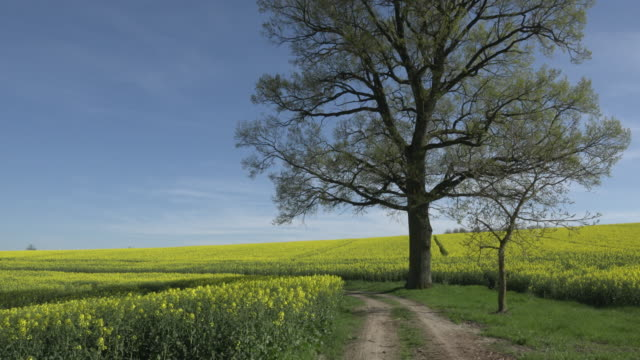 road and oilseed rape field with tree - schotterstrecke stock-videos und b-roll-filmmaterial