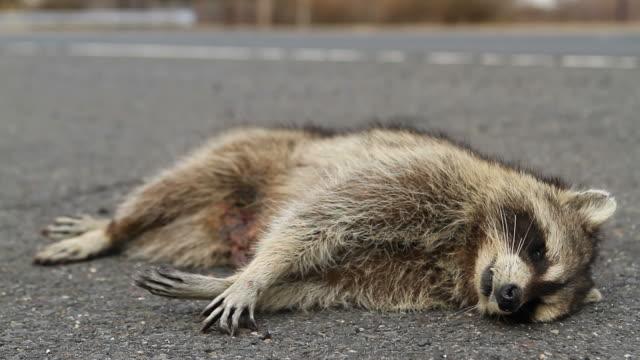 road kill raccoon - run over stock videos & royalty-free footage