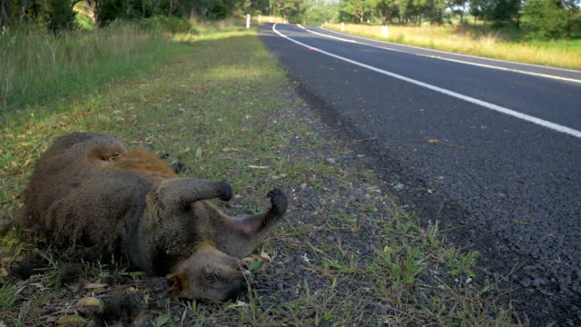 Road kill wallaby