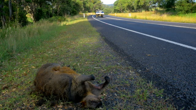 road kill wallaby - dead animal stock videos & royalty-free footage
