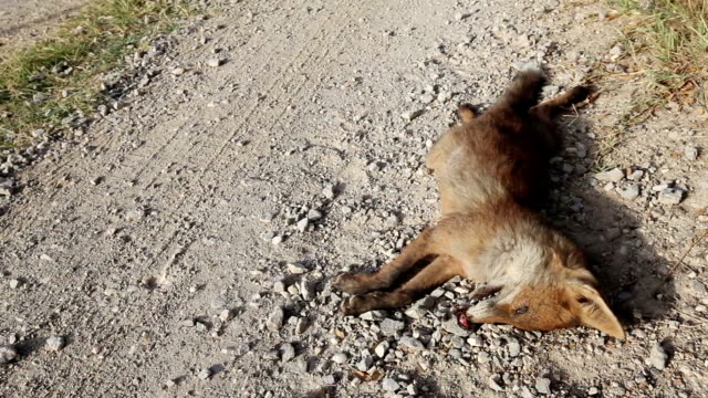 road killed wildlife red fox - run over stock videos & royalty-free footage