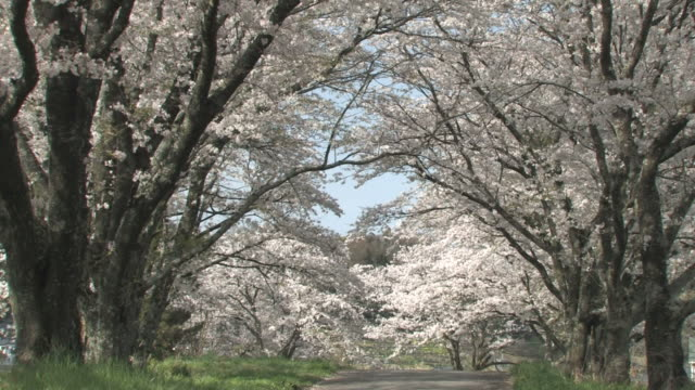 road lined with cherry blossom trees - 福岡県点の映像素材/bロール