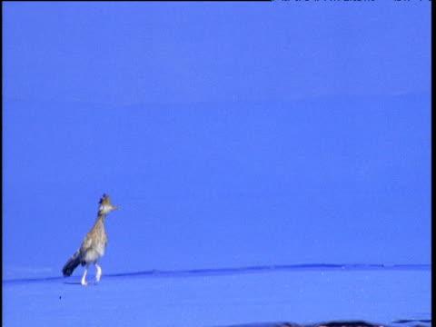 stockvideo's en b-roll-footage met road runner runs in front of camera against blue background, usa - renkoekoek