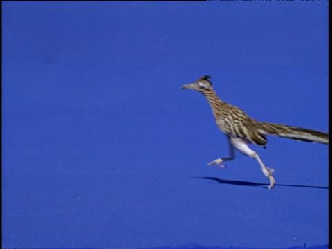 stockvideo's en b-roll-footage met road runner runs right to left, usa - renkoekoek