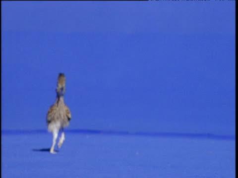stockvideo's en b-roll-footage met road runner runs towards camera against blue background, usa - renkoekoek
