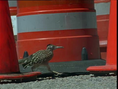 stockvideo's en b-roll-footage met road runner walks past traffic cones, usa - renkoekoek