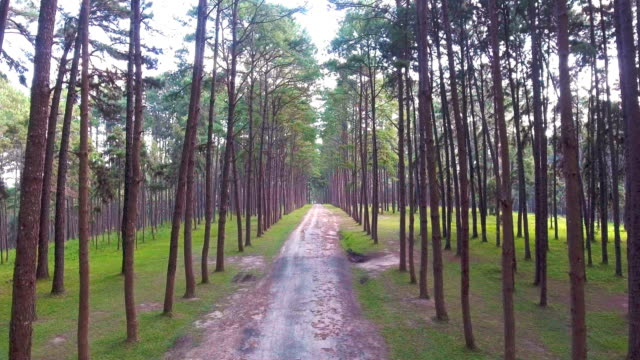 Road Through Tropical Pine Forest with Morning Sunlight, Thailand. Aerial video.