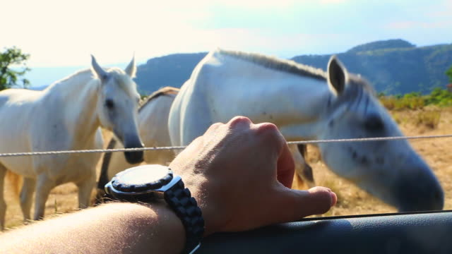 Road Trip to the Catalan countryside filming horses from inside car with personal point of view.