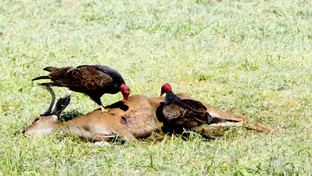 roadkill eating vultures: 4k - white tailed deer stock videos & royalty-free footage