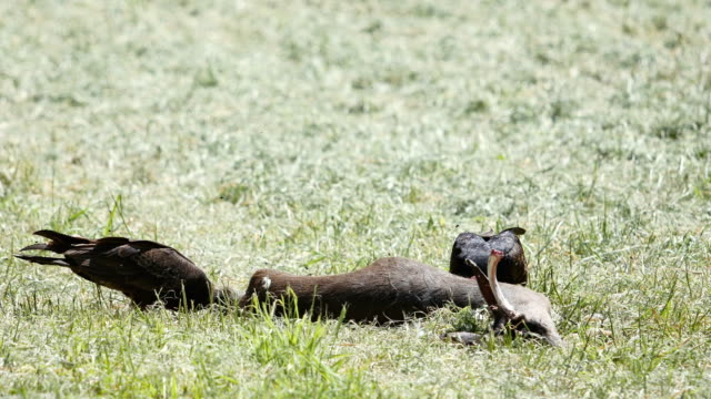 roadkill eating vultures: 4k - run over stock videos & royalty-free footage