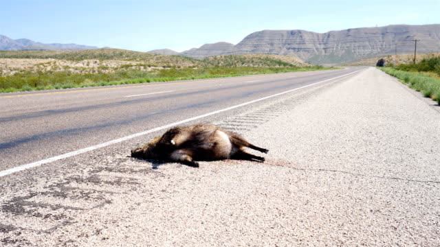 roadkill javelina - dead animal stock videos & royalty-free footage