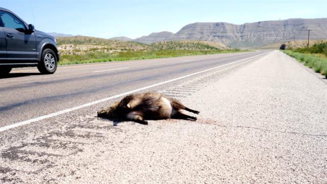 roadkill javelina - dead animal stock videos & royalty-free footage