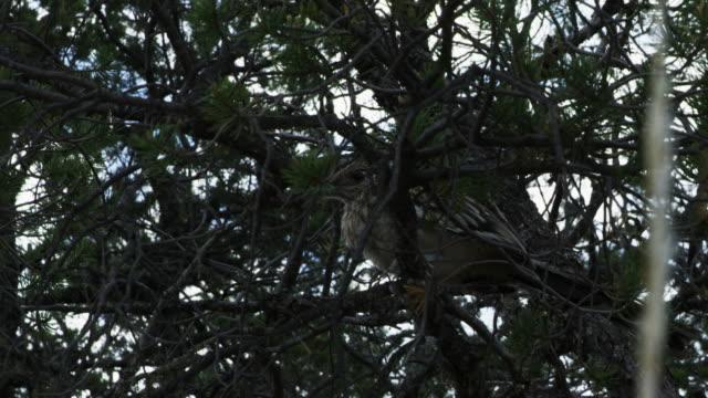 stockvideo's en b-roll-footage met roadrunner perching on branch - renkoekoek