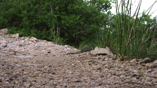 stockvideo's en b-roll-footage met roadrunner sitting on stones and looking around - renkoekoek