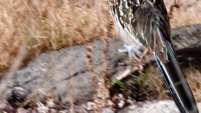 stockvideo's en b-roll-footage met roadrunner - renkoekoek
