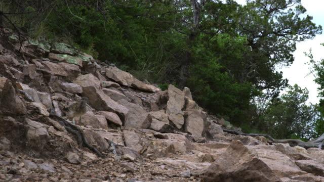 stockvideo's en b-roll-footage met roadrunner walking on stones - renkoekoek