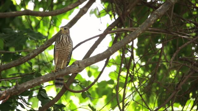 roadside hawk (rupornis magnirostris) on a tree branch - cerrado stock videos & royalty-free footage