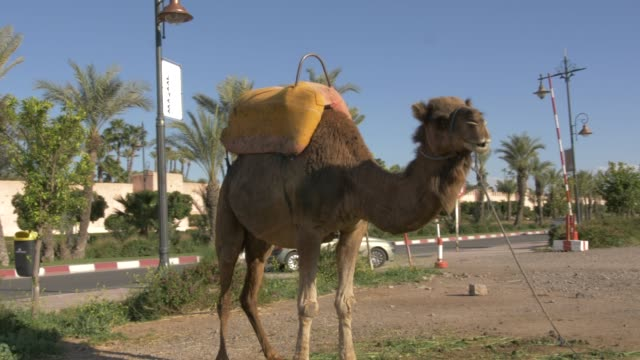 Roaming shot of camel and city wall of Medina, Marrakech, Morocco, North Africa, Africa
