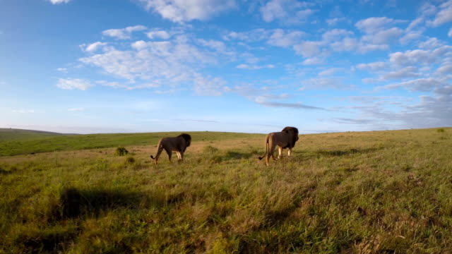 roaming the grasslands - lion stock videos & royalty-free footage