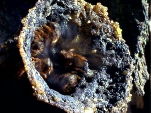 vidéos et rushes de robber bee (lestrimelitta limao) ms bees at nest entrance fanning wings, some go into nest, panama - groupe moyen d'animaux