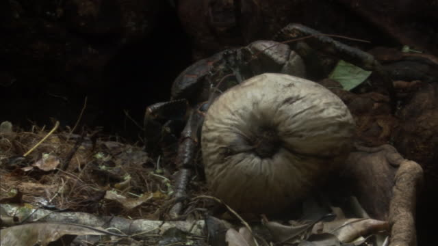 Robber crab (Birgus latro) drags coconut in forest, Vanuatu
