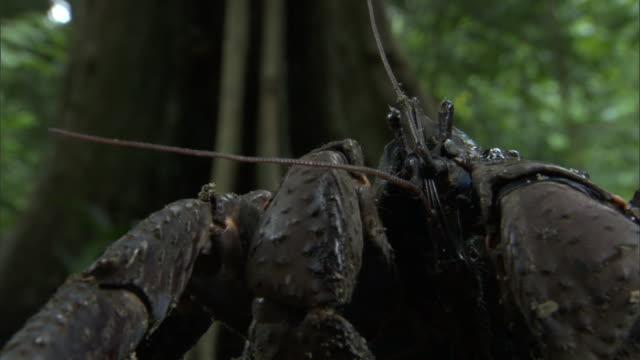 robber crab (birgus latro) in forest, pentecost, vanuatu - pentecost stock videos and b-roll footage