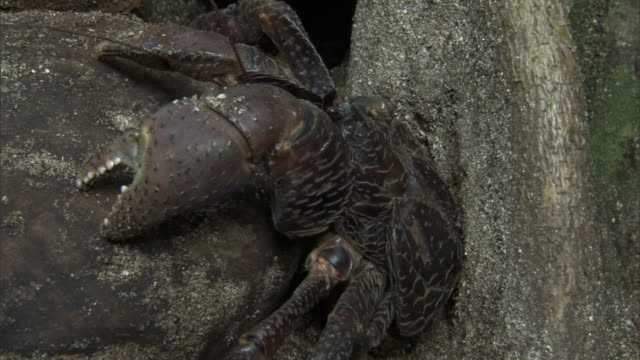 robber crab (birgus latro) on coconuts in forest, pentecost, vanuatu - pentecost stock videos & royalty-free footage