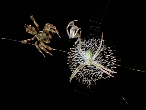vidéos et rushes de robber spider/jumping spider (portia) attacking white spider, australia - innocence