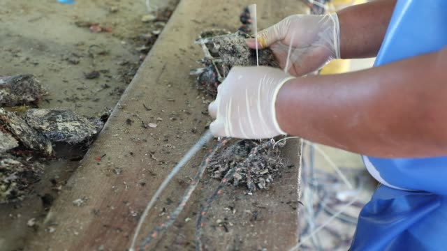 robert wan tahiti pearl factory in aukena french polynesia the process to make a pearl step by step - フランス海外領点の映像素材/bロール