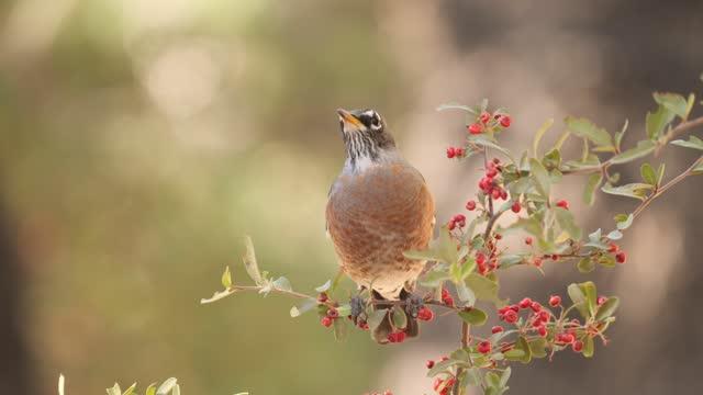 robin bird - songbird stock videos & royalty-free footage