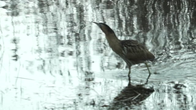 robin, cormorant and bittern at nature reserve - lakeshore stock videos & royalty-free footage