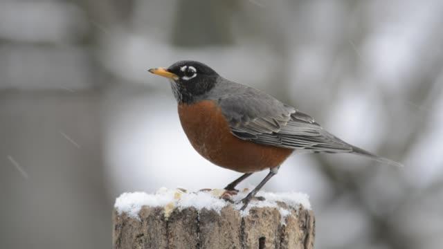 stockvideo's en b-roll-footage met robin eating in snow - boomstronk