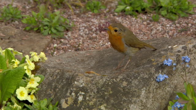 robin eating worm in garden - small group of animals stock videos & royalty-free footage