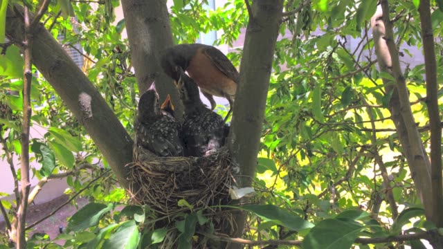 robin feeds babies in a robins nest - young bird stock videos & royalty-free footage