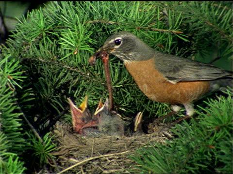 a robin feeds chicks in a nest. - füttern stock-videos und b-roll-filmmaterial