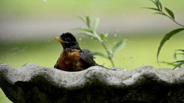 vidéos et rushes de robin un abreuvoir à oiseau - robin day