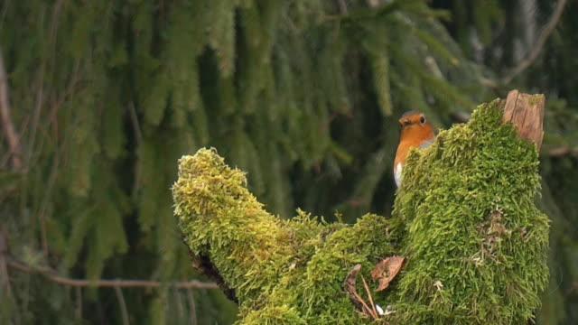 Robin en début de matinée (HD